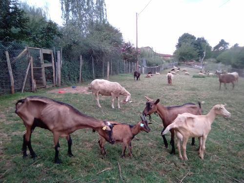 4 chèvres de réforme tout juste arrivées à la Ferme des Rescapés