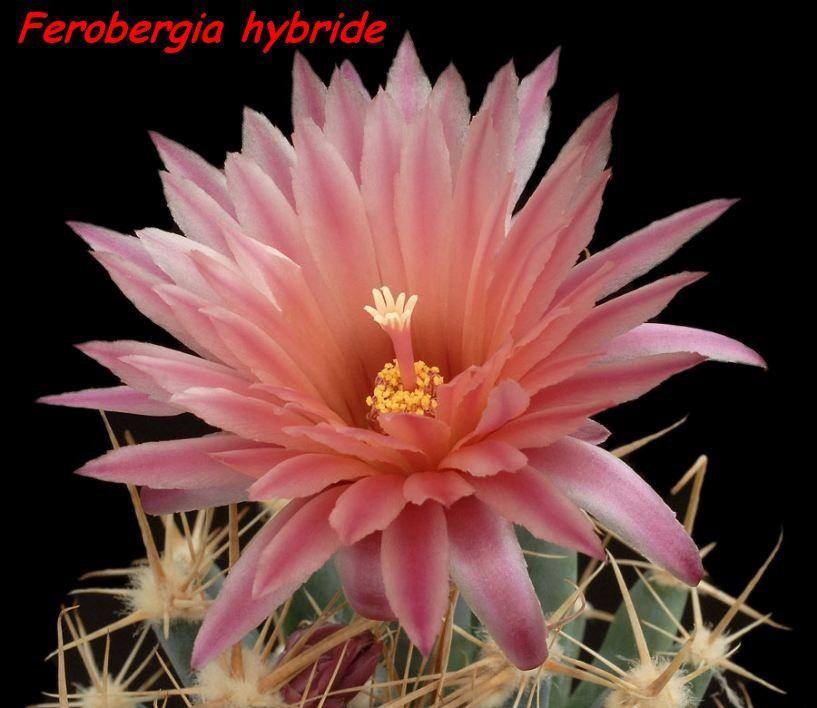 Les cactus sont presque exclusivement des plantes du Nouveau Monde. Une exception toutefois, Rhipsalis baccifera &#x3B; cette espèce a une répartition sur toute la zone subtropicale. Elle aurait colonisé assez récemment le Vieux Continent (quelques milliers d'années), probablement par des graines transportées dans le système digestif d'oiseaux migrateurs. La vallée de Tehuacán (Mexique) est l'un des plus riches sites de cactus dans le monde4. Beaucoup d'autres cactus (et notamment les Opuntias) se sont acclimatés sur les autres continents après avoir été introduits par l'homme. Les Cactus ont dû évoluer dans les derniers 30 à 40 millions d'années, quand les continents étaient déjà bien séparés.