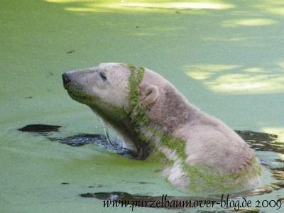 Knut am 29. August 2009