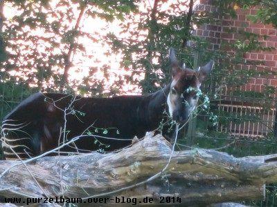 Okapi beim Laubsnack