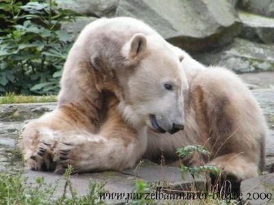 Knut am 6. Oktober 2009