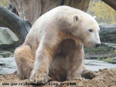Knut am 6. November 2008