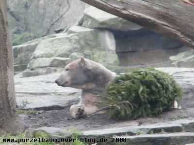 Knut am 17. Dezember 2008