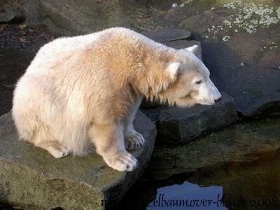 Knut am 17. Januar 2008