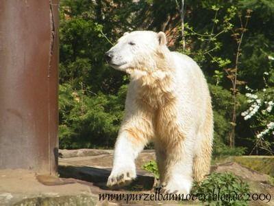 Knut am 11. April 2009