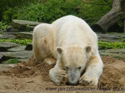 Knut am 10. Mai 2009