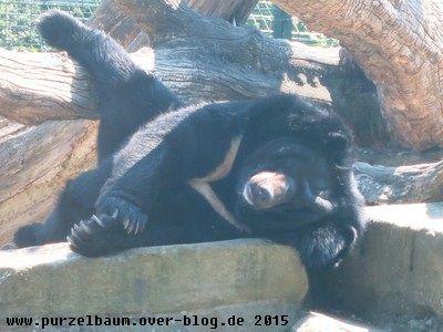 Der Kragenbär beim Abhängen