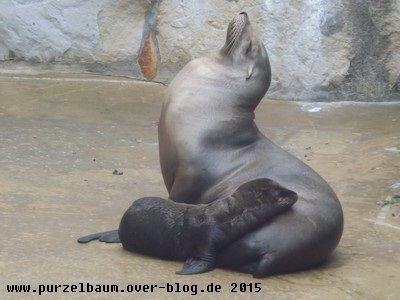 Seelöwenmama mit Nachwuchs