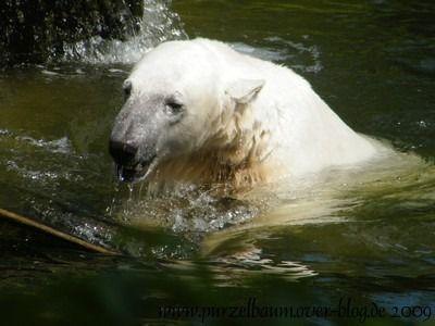 Knut am 13. Juli 2009
