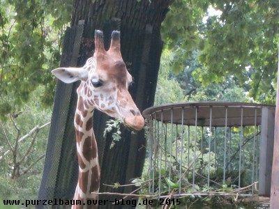 Futternde Giraffe