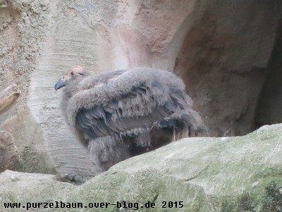 Der Andenkondornachwuchs