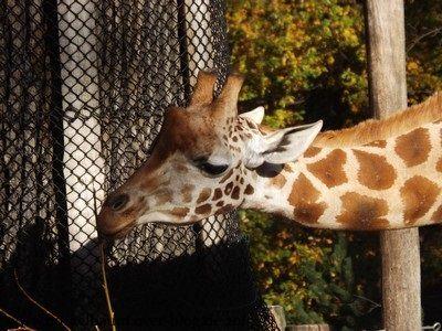 Giraffe in der Herbstsonne