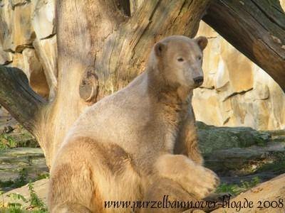 Knut am 16. November 2008