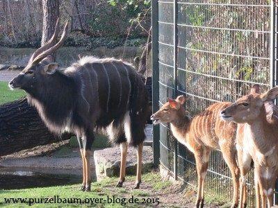 Familie Nyala