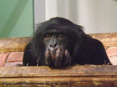 Bonobo in Denkerpose