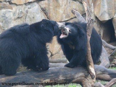 Lippenbären Rajath und Kaveri