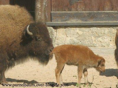 Bison mit süßem Nachwuchs