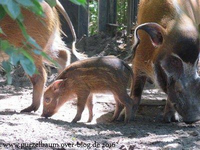 Pinselohrschwein-Nachwuchs Impra