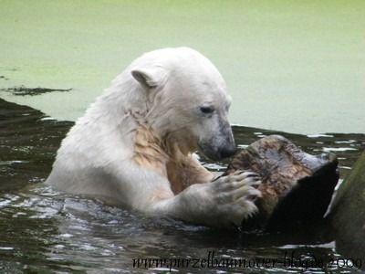 Knut am 28. Juni 2009