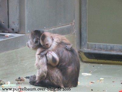 Brauner Kapuziner mit Zwillingsnachwuchs