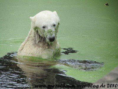 Knut am 17. August 2010