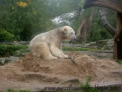 Knut am 7. September 2008