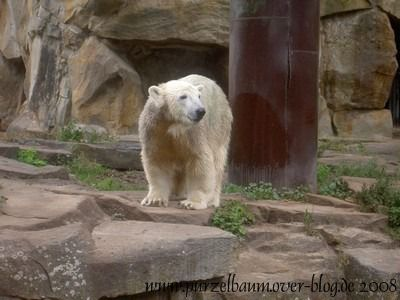 Knut am 14. September 2008