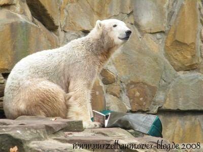 Knut am 26. Oktober 2008