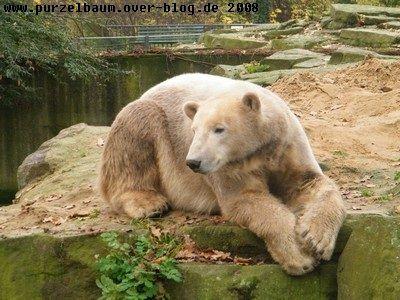 Knut am 8. November 2008