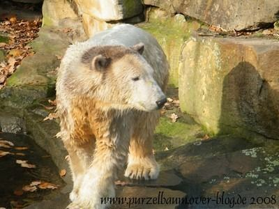 Knut am 12. November 2008