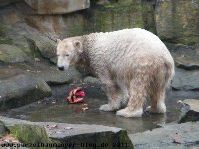 Knut am 29. November 2008