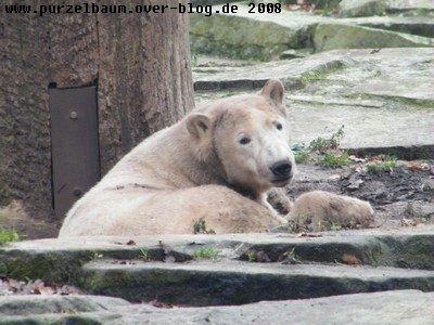 Knut am 30. November 2008