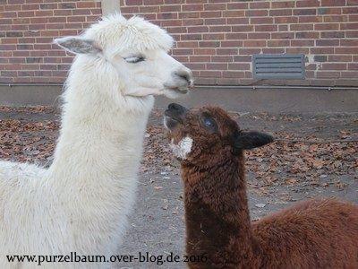 Alpakas Ophelia und Fideo