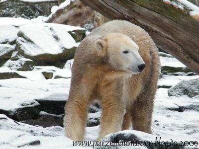 Knut am 16. Dezember 2009
