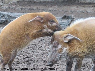 Familie Pinselohrschwein