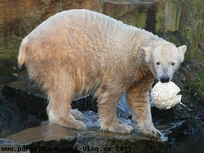 Knut am 28. Dezember 2008