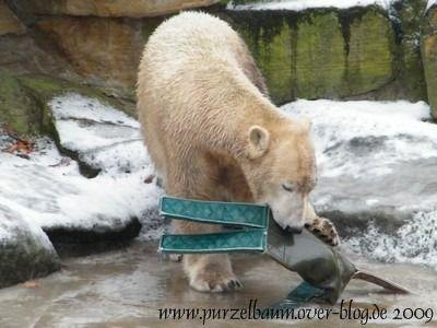 Knut am 4. Januar 2009