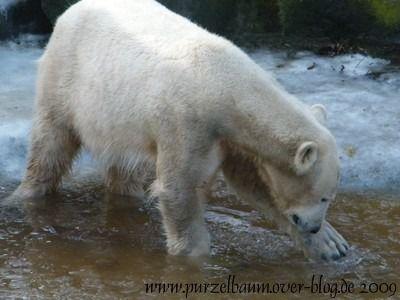Knut am 19. Januar 2009
