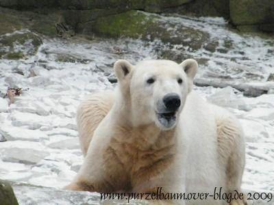 Knut am 1. Februar 2009