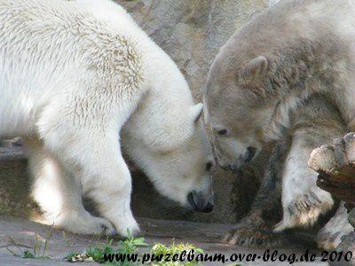 Weißbär Gianna und Graubärchen Knut