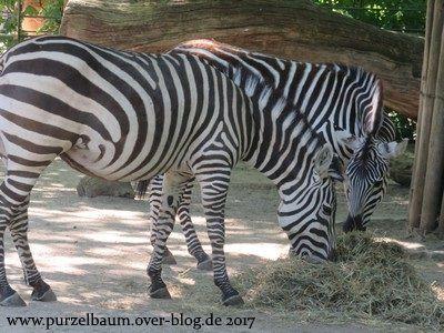 Zebras beim Frühstück