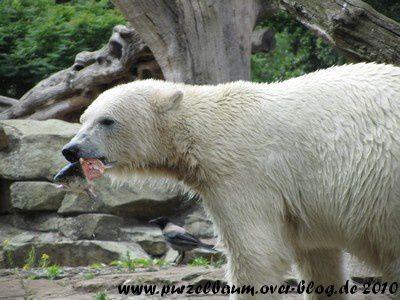 Knut am 25. Juni 2010