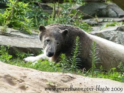 Knut am 24. Juli 2009