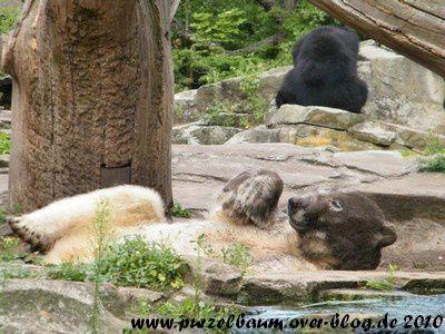 Knut am 31. Juli 2010