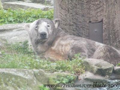 Knut am 3. August 2009