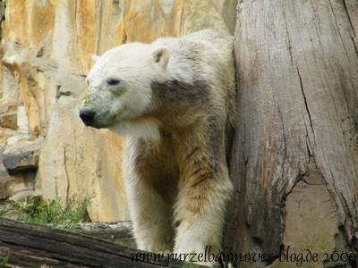 Knut am 10. September 2009