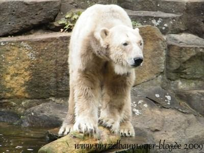 Knut am 13. September 2009
