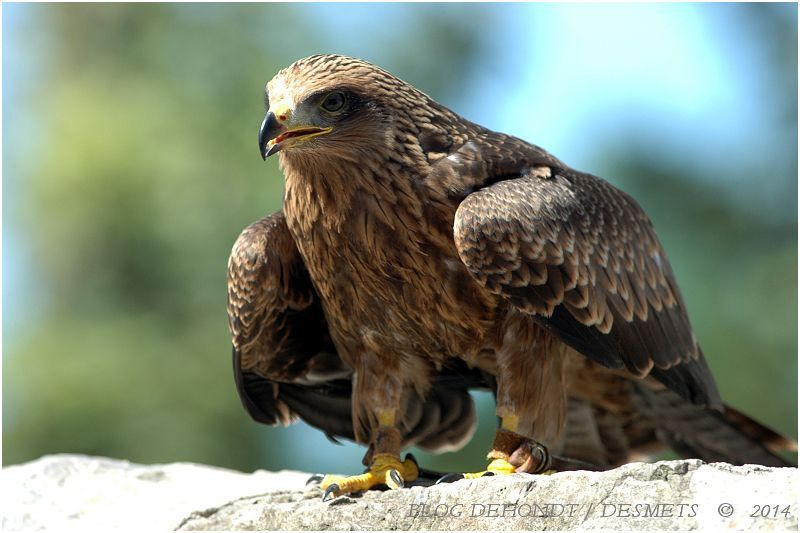 Aigle royal ( Aquila chrysaetos)