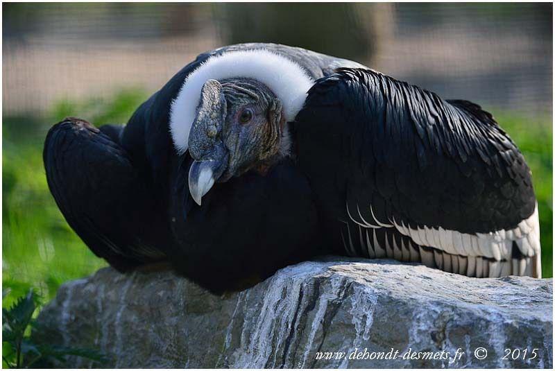 Condor des Andes (Vultur gryphus)