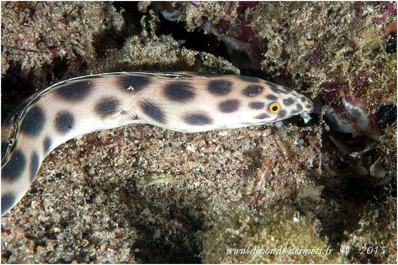 L'anguille-serpent maculée se reconnait aux taches rondes foncées sur le corps blanchâtre